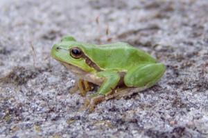 magdalan-żaba